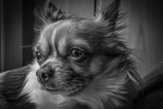 CHARLIE - b&w (Peters HDR hobby pictures) Tags: petershdrstudio hdr animal dog chihuahua blackwhite charlie hund haustier schwarzweis monochrome