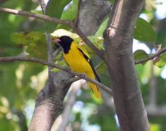 Black Hooded Oriole (Banerjee-India) Tags: oriole goldenoriole nature wildlife animals tree birds indianbirds birdsphotography photography