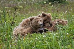 _HB39898 (Hilary Bralove) Tags: lakeclarknationalparkbrownbearsbearsalaskanikonwildlifegrizzlygrizzlybearbrownbearanimalswildlifephotographercubsbearcubsnursingbearcubs alaksa brownbears grizzlybears bear bears grizzly brownbeargrizzly bearlake clarkwildlifealaska wildlifenikonlake clark national park