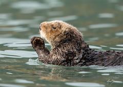 Pray to the Ocean Gods (m_Summers) Tags: ocean seaotter starfish otter marksummers wildlife mammal alaksa marine animal