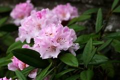Azalea's (eric robb niven) Tags: ericrobbniven scotland dundee azaleas flowers springwatch