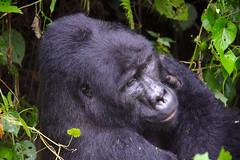 A Distant Cousin (pbr42) Tags: uganda animal gorilla nationalpark nature silverback bwindi bwindinationalpark mountaingorilla leaf africa