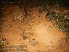 Megophrys ombrophila #6 DSCN1089v3 (Kevin Messenger) Tags: amphibians frog fujian wuyishan megophrys ombrophila amphibia toad china kevin messenger hollis dahn new species guadun herpetology canon wildlife research nature