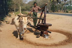 Making Peanut Oil (*Kicki*) Tags: myanmar burma ox animal sand rural man person people bagan longyi 50mm makingpeanutoil asia farmer road countryside peanutoil မြန်မာ