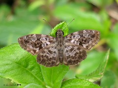 Gorgythion begga pyralina (LPJC) Tags: panama 2018 lpjc butterfly gorgythionbegga skipper