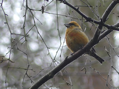 Common Crossbill (Male) (ukstormchaser (A.k.a The Bug Whisperer)) Tags: common crossbill bird birds animal animals wildlife bucks buckinghamshire woods woodland perched male morning february winter birch nature