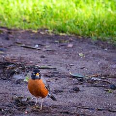 American Robin (phoca2004) Tags: americanrobin birds birding z6 nikon sanfrancisco turdusmigratorius california unitedstatesofamerica us