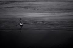 Monochrome. (ALEKSANDR RYBAK) Tags: изображения монохромный вода лёд камыш весна природа сезон season nature images monochrome water ice reed spring