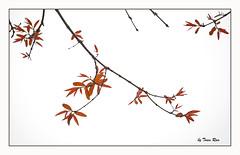 SHF_8878_Red leaves (Tuan Râu) Tags: 1dmarkiii 14mm 100mm 135mm 1d 1dx 14 2470mm 2019 50mm 70200mm canon canon1d canoneos1dmarkiii canoneos1dx red white leaves flowers beautiful beauty tuanrau tuan tuấnrâu2019 râu httpswwwfacebookcomrautuan71 flora floral