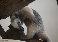 G08A4400.jpg (Mark Dumont) Tags: zoo mark dumont tamandua cincinnati
