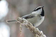 Mountain Chickadee (bencbright) Tags: chickadee mountainchickadee sx60 canonsx60 superzoom bird idaho winter