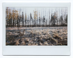 Frosty morning (belousovph) Tags: analog polaroid instax fuji fujifilm instaxwide fujiinstax instaxwide300 forest tree instant landscape