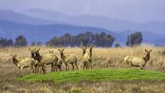 Tule Elk (punahou77) Tags: tuleelk elk wilderness wildlife winter california grizzlyislandwildlifearea stevejordan punahou77 marsh grassland delta eastbay nature nikond500 nikon fairfield suisun