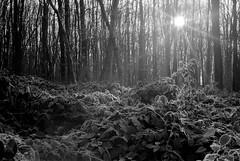 winterglow (mischlicht.net) Tags: kentmere400 leicam6classic xtol10 zeisscbiogon35mm28 mischlicht mischlichtnet filmphotography analogue analogefotografie blackandwhite schwarzweis monochrome landschaft landscape tree trees baum bäume winter