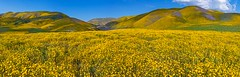 Carrizo Plain wildflowers (Luc Mena Photography) Tags: losangeles ca usa carrizo plain wildflowers bloom blooming nature outdoor landscape colorful spring season california blue yellow sky hills national monument scenic