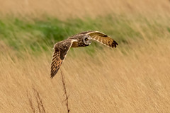 Owl series #2 (Trev Green) Tags: owl nikon sigma parkgate wirral d500 bird