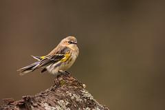 Yellow rumped Warbler DSC_2368 (skeeboknight) Tags: bird tree nature wildlife