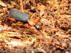 False Bombardier Beetle (treegrow) Tags: nature lifeonearth glendening maryland raynoxdcr250 arthropoda insect beetle coleoptera galeritabicolor carabidae