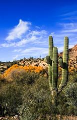 Winter Colors (Buck--Fever) Tags: florencearizona florence florencekelvinhighway arizona arizonadesert arizonapassages arizonaskies landscape yellow fallcolors trees tree gilariverarizona saguaros saguaro canon60d tamron18400lens