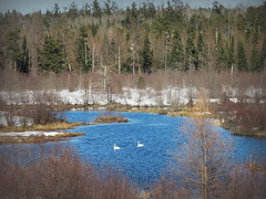 Swans in a snowy slough (yooperann) Tags: trumpeter swans spring march silver lead creek slough pond snow blue sky sunny day marquette county ki sawyer upper peninsula michigan migration