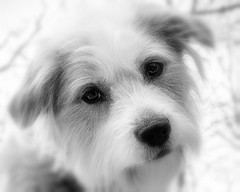 Good Dog (joegeraci364) Tags: thomas dog pet family animal canine black white art cute