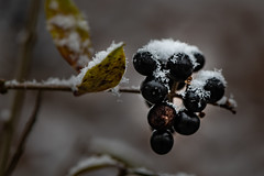 Zarte Schneeschicht auf Ligusterbeeren 1307 (Peter Goll thx for +10.000.000 views) Tags: garden schnee nikon nature garten macro 105mm nikkor makro natur snow liguster d850 beere berry black schwarz