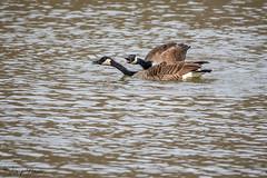 FM5A0250 (Kemp Davis) Tags: wildlife nature aquaticbird canadagoose