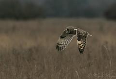Short Eared Owl-1244 (WendyCoops224) Tags: 100400mml 80d fens canon eos ©wendycooper short eared owl asio flammeus
