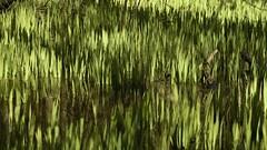 Frühlingstriebe der Sumpf-Schwertlilie (Iris prseudacorus) in einem sumpfigen Waldstück; Haby (8) (Chironius) Tags: schleswigholstein deutschland germany allemagne alemania germania германия niemcy moor sumpf marsh peat bog sump bottoms swamp pantano turbera marais tourbière marécageuse grün gegenlicht asparagales schwertliliengewächse iridaceae schwertlilien iris laub