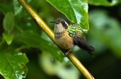 Speckled Hummingbird - Colibri moucheté (charbonjoh) Tags: speckledhummingbird colibrimoucheté adelomyiamelanogenys papallacta ecuador canoneos7dmarkii canonef100400mmf4556lisiiusm