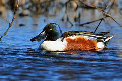 Northern_Shoveler_Male_01 (DonBantumPhotography.com) Tags: wildlife nature animals birds donbantumcom donbantumphotographycom waterfowl duck northernshoveler