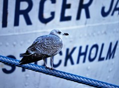 6Q3A7711 (www.ilkkajukarainen.fi) Tags: seagull lokki kalalokki stockholm tukhola visit travel travelling happy life bird lintu ship laiva eu europa scandinavia sweden portrait potretti city harbour satama