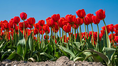 It's the season of the tulips again! (Michiel Pols) Tags: tulips spring netherlands gx9 urk holland keukenhof flower flowers flora earth panasonic lumix micro four thirds g fields horticulture color tulip botanica landscape red green