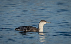 Red Throated Loon (hey its k) Tags: 2019 birds canal canon5dmarkiv hamilton liftbridgepier nature ontario canada ca ringthroatedloon loon imga1652e