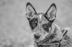 Miley (Julie Holland photography) Tags: dog dogs blueheeler puppy australia animal