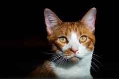 My Cat Luke (Nicholas Erwin) Tags: luke animal pet kitty kitten feline orangetabby orangecat meow lowkey cat fujifilmxt2 fujixt2 meike3514 meike35mmf14 meike fav10 fav25 fav50