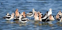 American Avocets (pamfromcalgary) Tags: texas texasportaransasnaturereserve birds americanavocets recurvirostraamericana pamhawkes leonabelleturnbullbirdingcenter