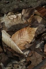 Leaf (historygradguy (jobhunting)) Tags: easton ny newyork upstate washingtoncounty leaf leaves