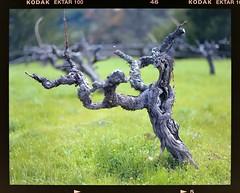 Vineyard vecchio (TPStearns) Tags: pentax67ii 105mmf24 film ektar100 kodak winery vineyard california 120 mediumformat 6x7