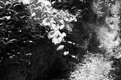 Noli, Liguria (fabiolug) Tags: plant leaves leaf light nature path walk walking noli liguria ligury italy italia leicammonochrom mmonochrom monochrom leicamonochrom leica leicam rangefinder blackandwhite blackwhite bw monochrome biancoenero voigtlandernoktonclassic35mmf14 voigtlandernokton35mmf14 voigtlander35mmf14 35mm voigtlander