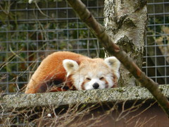 Red Panda, Highland Wildlife Park, Kincraig, Mar 2019 (allanmaciver) Tags: red panda colours beauty stare highland wildlife park kincraig little animal cute beautiful amazing scotland allanmaciver