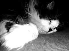 Salem (Josu Sein) Tags: portrait retrato cat gato love amor lovely adorable animalism animalismo veganism veganismo antispeciesism antiespecismo animalrights derechosanimales josusein littledoglaughednoiret