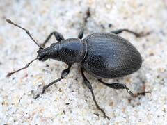 Otiorhynchus atroapterus (Curculionidae) (Renko Usami) Tags: otiorhynchus atroapterus curculionidae coleoptera