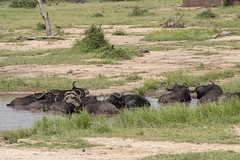 IMG_7258 (Rorals) Tags: buffalo southafrica kruger wildlife safari animal mammal bovine african africa nature