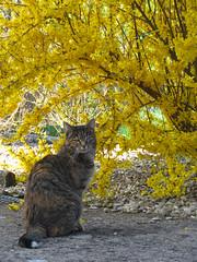 Maya printanière :-) (Kermitfrog ;-)) Tags: maya cat cats katze kitty 39 jura authume bourgognefranchecomté chat forsythia fleurs printemps