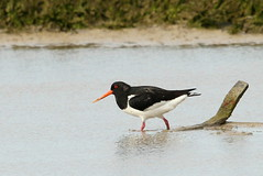 Oystercatcher-7D2_2951-001 (cherrytree54) Tags: canon sigma 7d 150600 rye harbour east sussex oystercatcher