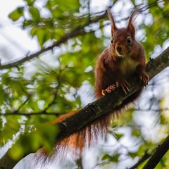 Red squirrel/ Ecureuil roux (Eric KAROUTCHÉ) Tags: redsquirrel ecureuilroux squirrel ecureuil woods bois forest foret wildlife nature eosr ef100400mm