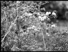 first azalea blooms, yard, Asheville, NC, Mamiya 645 Pro, mamiya sekor 80mm f-2.8, 4.5.19 (steve aimone) Tags: azalea blooms earlyspring yard asheville northcarolina mamiya645pro mamiyaprime mamiyasekor80mmf28 kodaktrix400 hc110developer 645 mediumformat blackandwhite monochrome monochromatic 120 120film film flowers floralforms