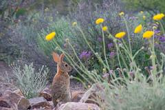 (MeaghaHertz) Tags: sonoran desert rabbit sweetwater preserve arizona a550