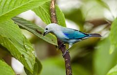 0P7A1109  Blue-gray Tanager, in Ecuador (ashahmtl) Tags: bluegraytanager bird tanager songbird thraupisepiscopus miradordelosbancos los bancos county pichinchaprovince ecuador